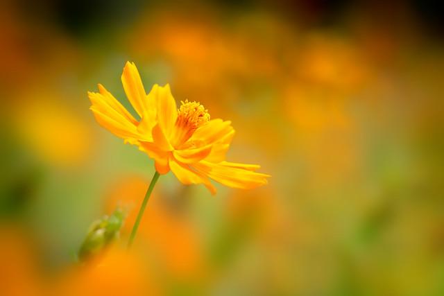 Yellow Cosmos.*黃波斯菊*