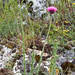 Flickr photo 'Carduus nutans BS090513-039' by: Sarah Gregg Petriccione.