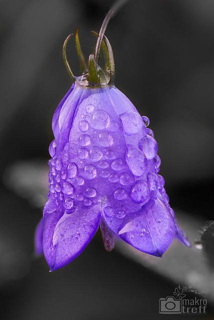Di, 2013-11-12 15:35 - Solangsam wirds zwar mau (Mitte Nov) was Blumen angeht. Doch diese wunderschöne Glockenblume hab ich glücklicherweise noch entdecken können! Das Foto besteht aus 15 Einzelbildern (Stacking), Freihand!