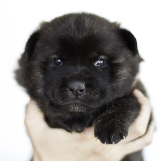 Nori-Litter1-Day20-Puppy1-Female-1 | by brada1878