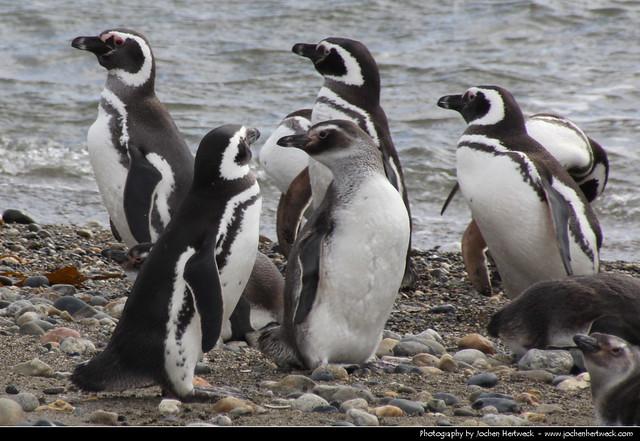 Penguins, Seno Otway, Patagonia, Chile