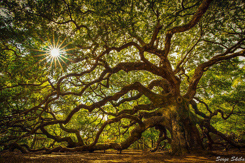 park old city trip travel vacation usa sun tree green history tourism sc nature leaves angel forest season landscape outdoors island photography coast town spring oak ancient natural live branches south famous low scenic large culture landmark historic east charleston southern growth carolina trunk destination limbs oldest johns lowcountry