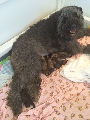 FeliciaAndTheNewPuppies | by Sleeping Lady Bouviers