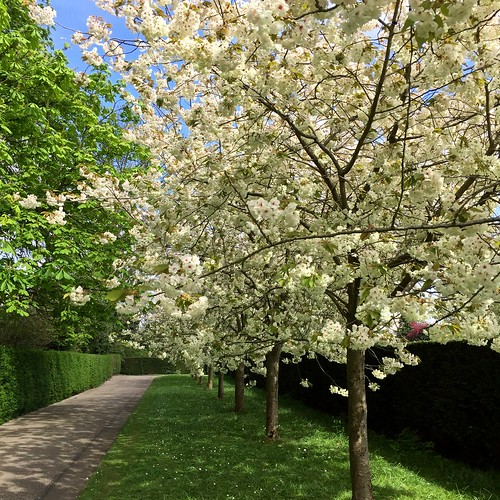 Regent's Park cherry blossom 2017 | by Fran Pickering