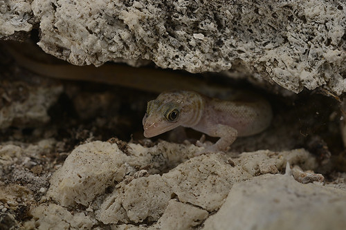 Monito gecko | by USFWS/Southeast