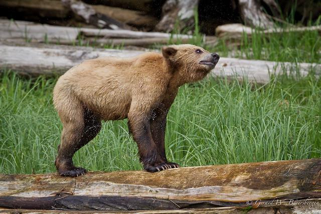 Grizzly Bear  - Cub