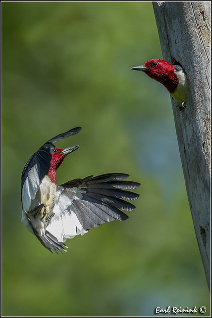 Red-headed Woodpecker (130609-0017)