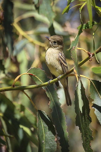 Pacific-slope Flycatcher (Empidonax difficilis) | by Photo Patty