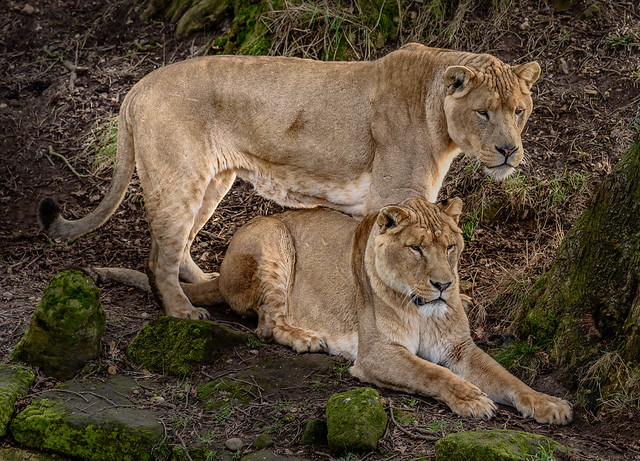 Lions at Africa Alive