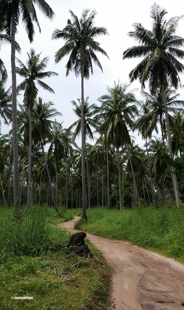 Palmuja hiekkatien varrella Koh Taolla