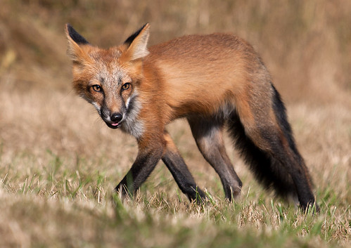 Red Fox, San Juan Island, Washington