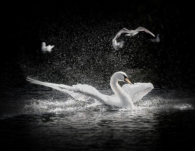 Not those Gulls again