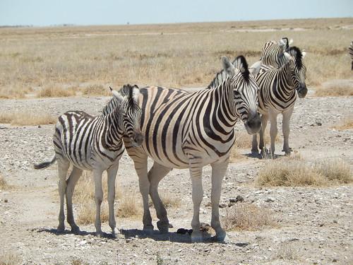 Etosha NP - zebra veulen