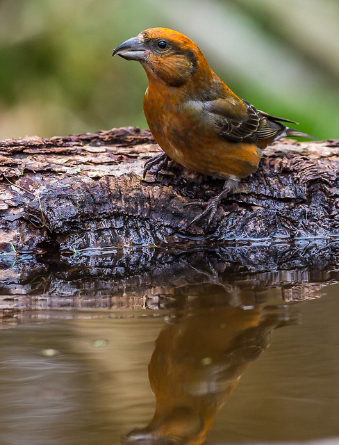 CROSSBILL (MALE)