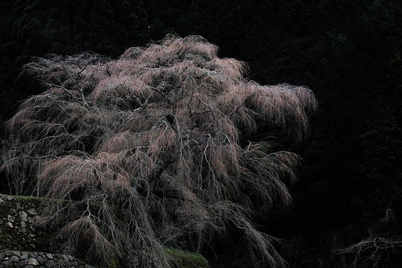 An Old Cherry Tree (又兵衛桜 2017)
