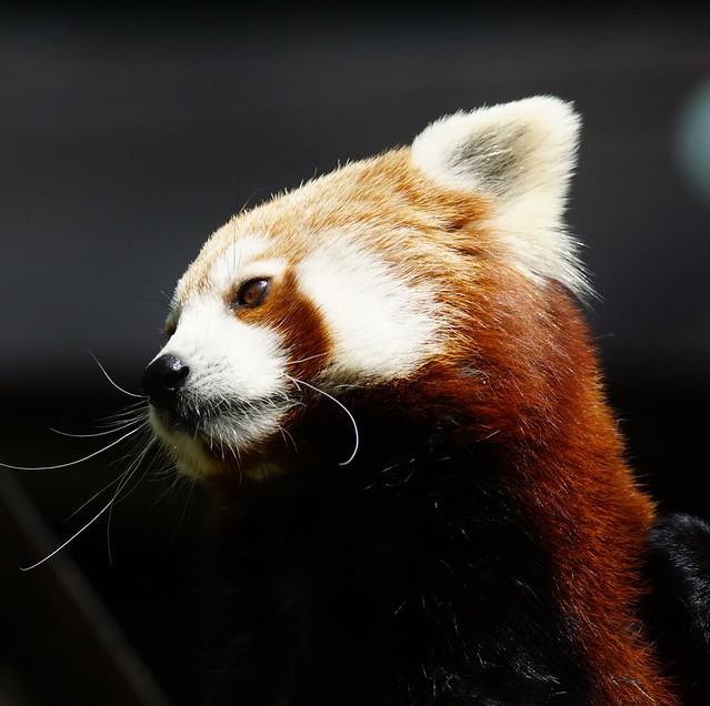 Tg Nbg               Red Panda                   170421