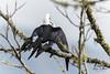 Swallow-tailed Kite by Jorge Obando Gutierrez