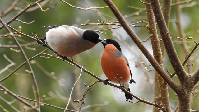 Kissing Bullfinches