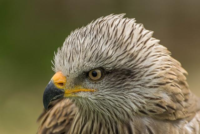 falcon cabarceno