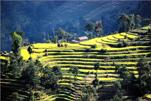 nepal nagarkot landscape terraces green trees