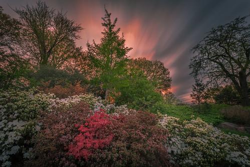 l spring morning flowers azalea