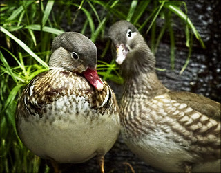 Ducks | by dbuckle2695