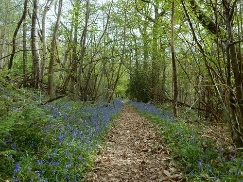 bluebells Hever to Ashurst