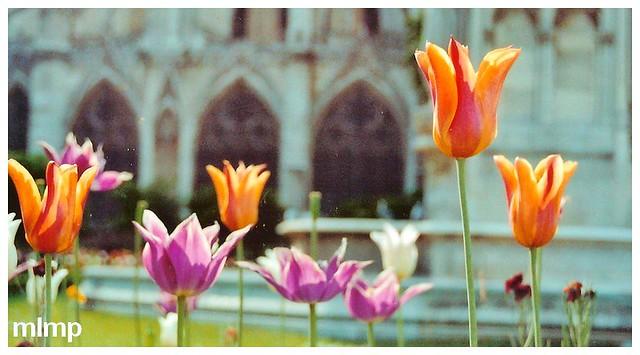 Tulipes de France