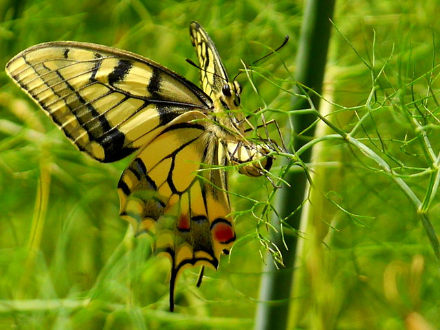 Papilio machaon laying an egg on fennel