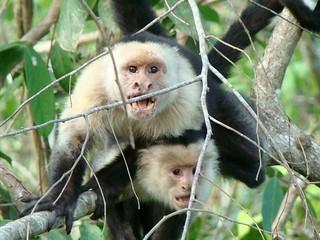 Capuchino 2