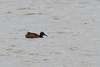 Black-headed Duck by zeledonia