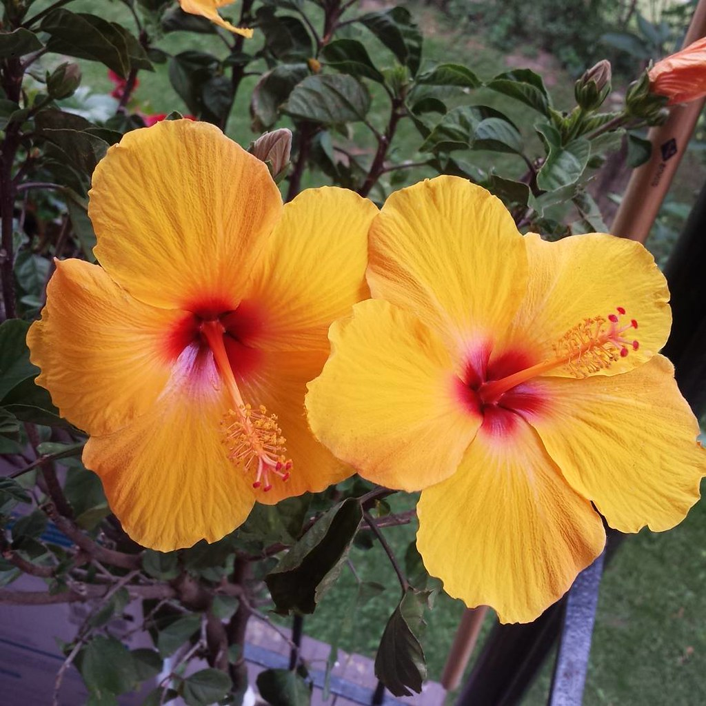 My Beautiful Hibiscus Tree Blooms Love The Yellow Hibis Flickr