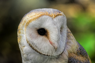 Barn Owl_DSC3390