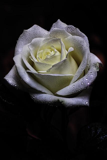 fading Rose.