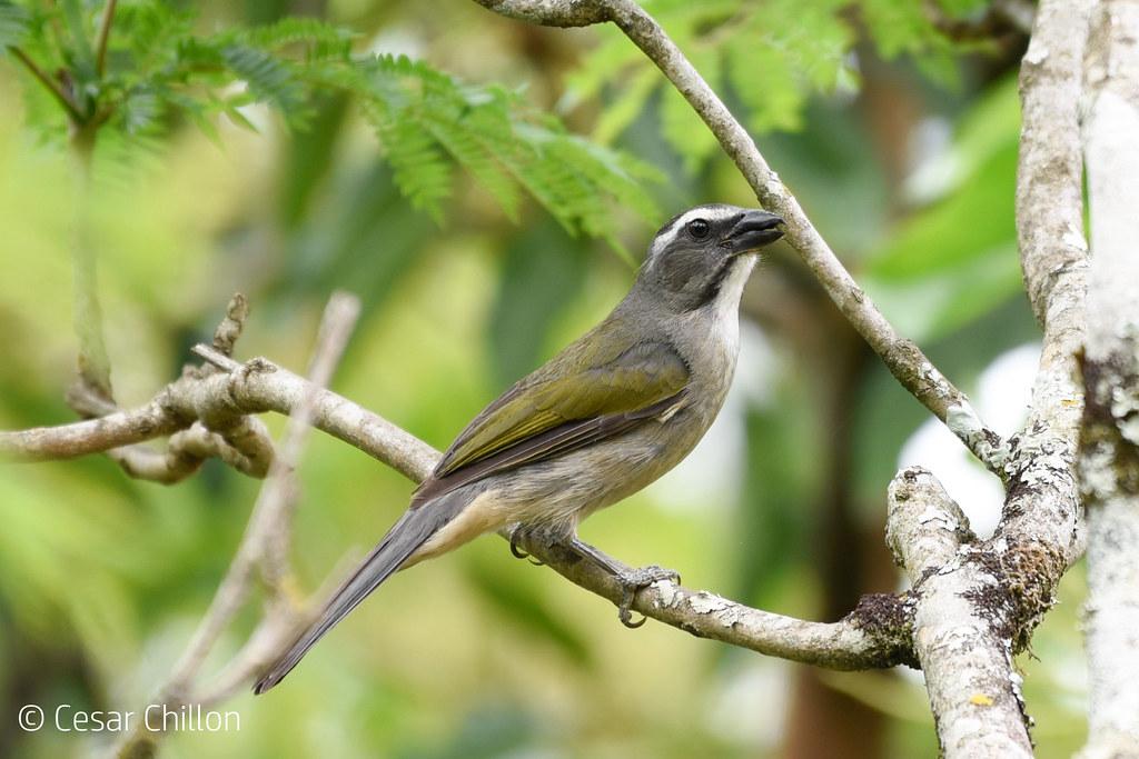 Saltator similis - Pepitero verdoso - Green-winged Saltator