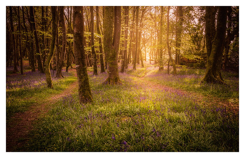 bluebells woods sunset fineart intimate landscape forest woodland