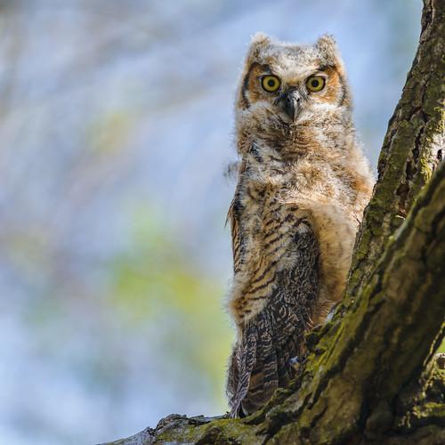 birdofprey owl nature bird bubovirginianus wildlife raptor owlet greathornedowl palmyra newjersey unitedstates nikon d800e