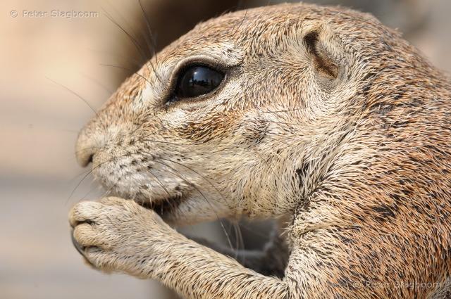 Eating ground squirrel - Namibia
