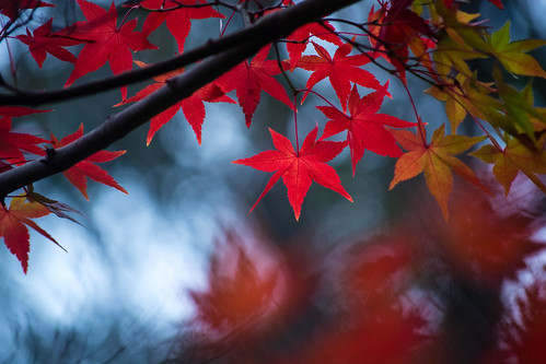 red star leaves -2 | by xalphas