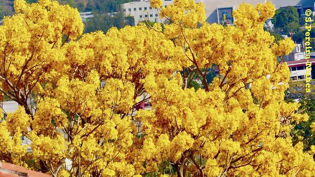 Tabebuia Chrysantha, Ipê amarelo, Yelllow Caribbean Trumpet tree, El Salvador