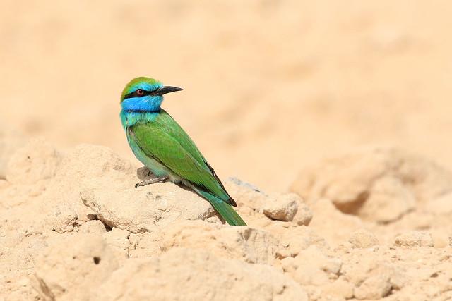 Guêpier à sourcils bleus - Al Warsan/Dubai/UAE_20170114_449
