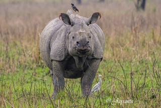 The pride of Assam. Greater one-horned rhinoceros.