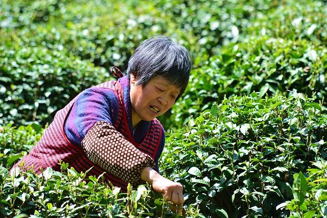 Hangzhou - Longjing Tea Picking