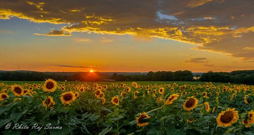 sunset landscape sunflower starburst buttonwood