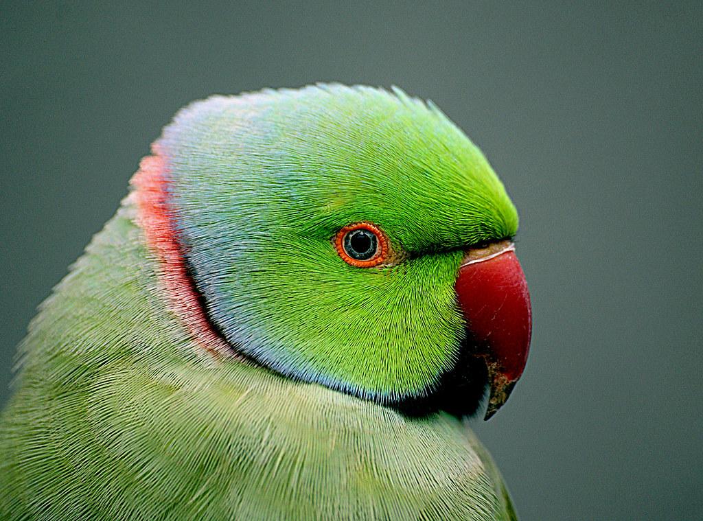 Indian Ringneck Parrot Psittacula Krameri The Rose Rin Flickr