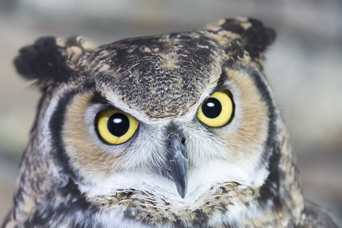Great Horned Owl Face Closeup | by quattroluvr