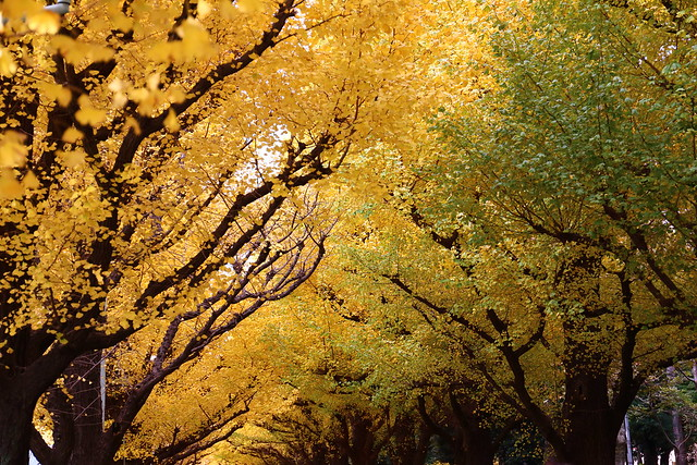 Autumn in Tokyo / Ginkgo tree at Meiji Jingu Gaien