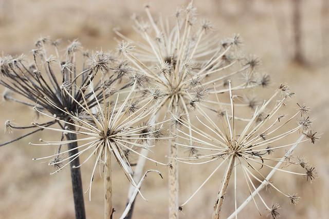Dried Flower Heads