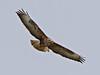 A Common Buzzard by Mark_Coates
