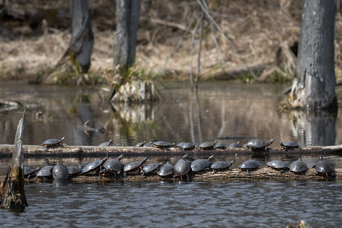 Painted Turtles (Chrysemys picta) | by Zachary Cava